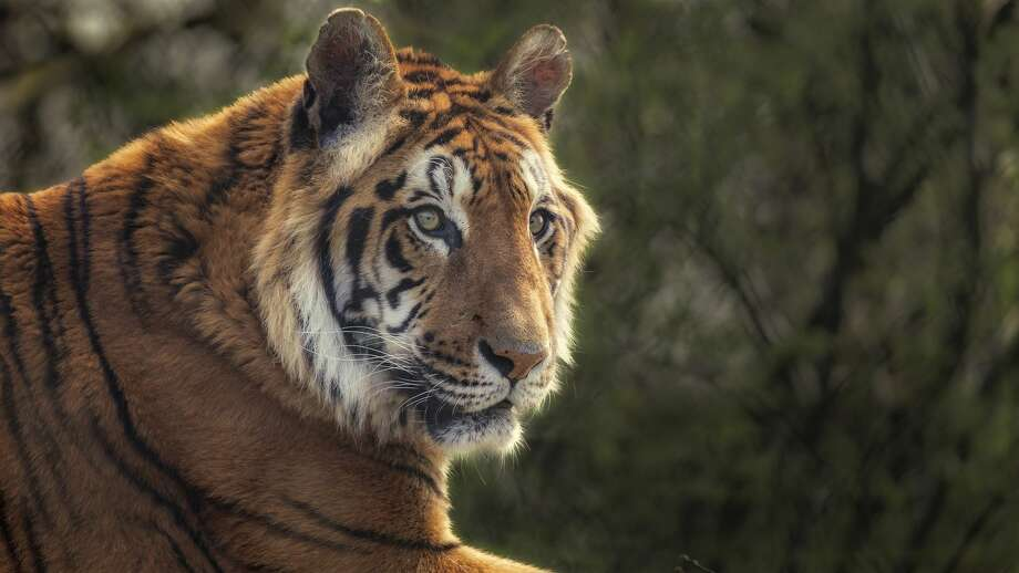 There were unconfirmed tiger sightings reported overnight in the eastern part of the county, and the search was continuing Thursday morning, dispatchers told news outlets. Photo: Richard Clark / 500px/Getty Images/500px