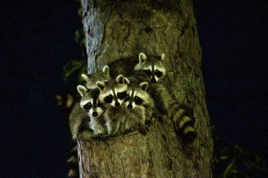 Family of Baby Racoons in a Tree at night Photo: Davidfillion, Contributor / Getty Images/iStockphoto / David Fillion Productions