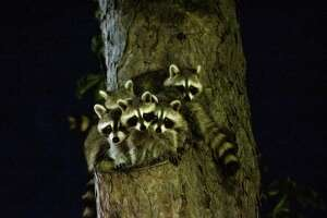 Family of Baby Racoons in a Tree at night