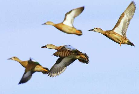 Texas' teal-only hunting season opens Saturday, and prospects for the 16-day season appear outstanding for hunters with access to flooded rice fields and other shallow wetlands on coastal prairies and marshes.