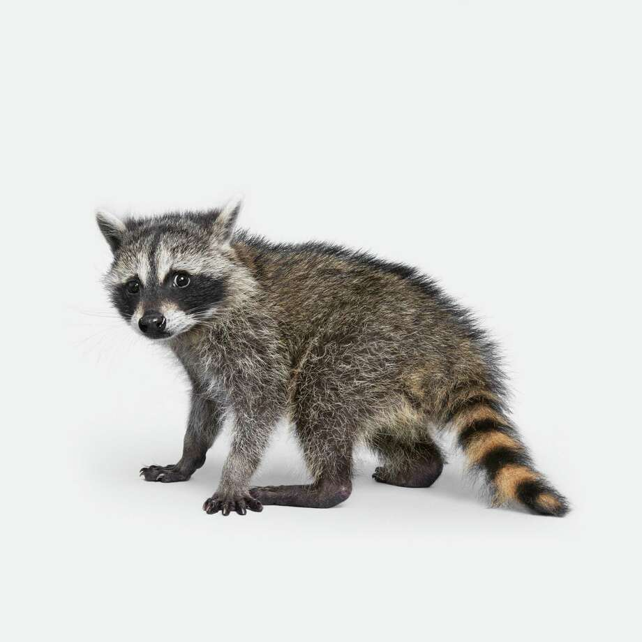 "Baby raccoon from ""The Animal Kingdom"" by Randal Ford (Rizzoli New York). Wilton police are looking for the owner of a metal animal trap that was found in the Town Forest on Branch Brook Road with a live raccoon in it. Photo: Randal Ford / Randal Ford"