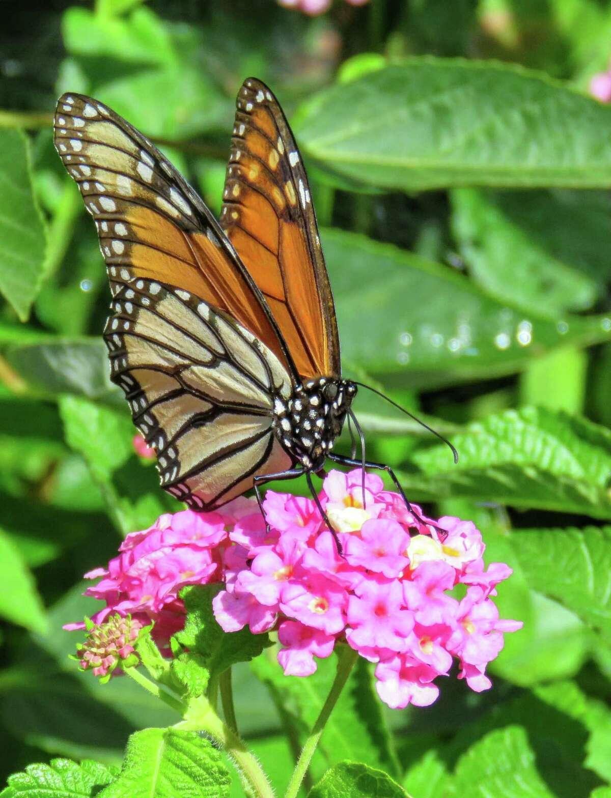 Monarch butterflies in Columbia county by Jody Weidel