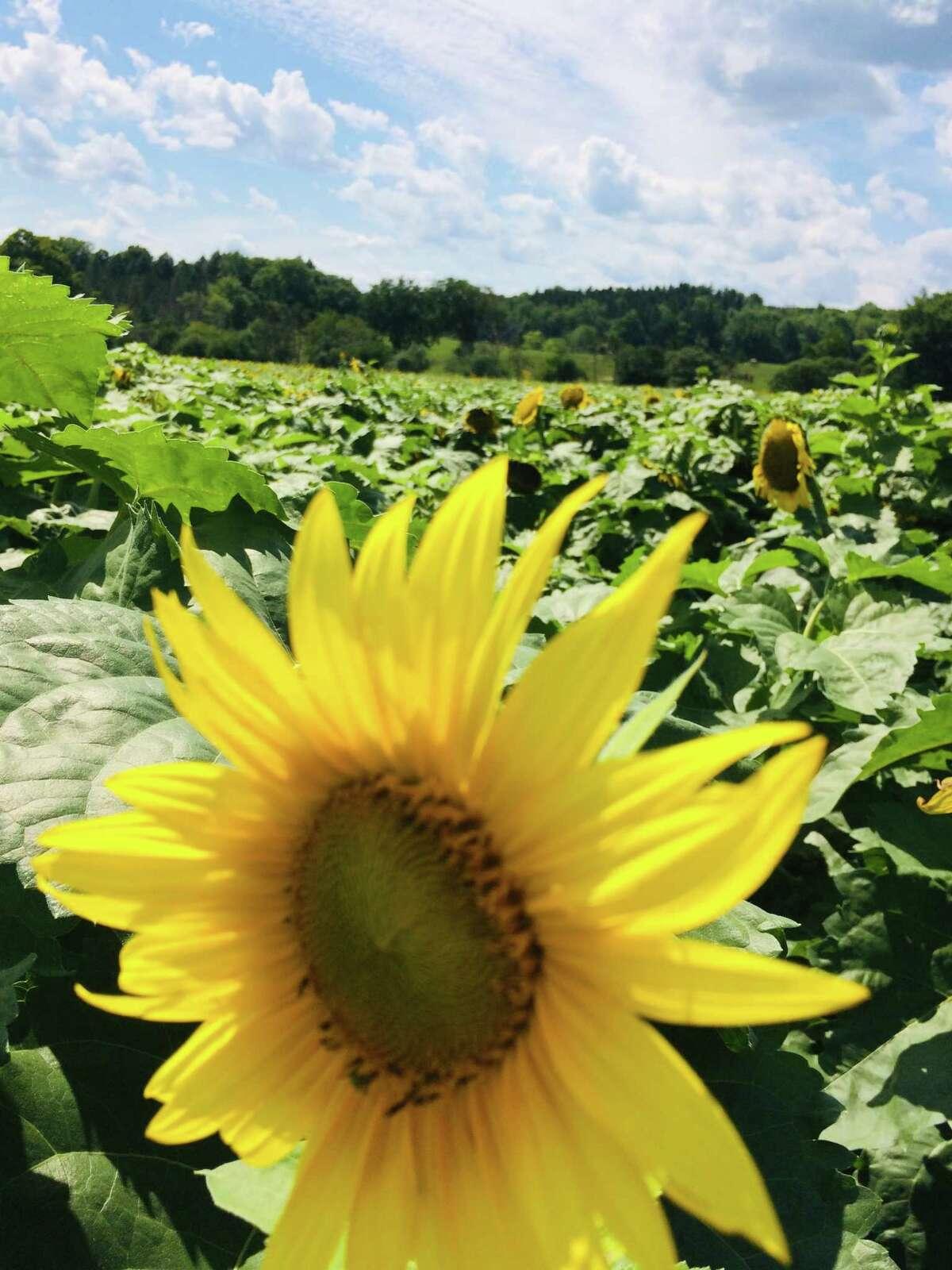 Ginny Hayes of Delmar enjoyed walking in a sunflower field in Westerlo.