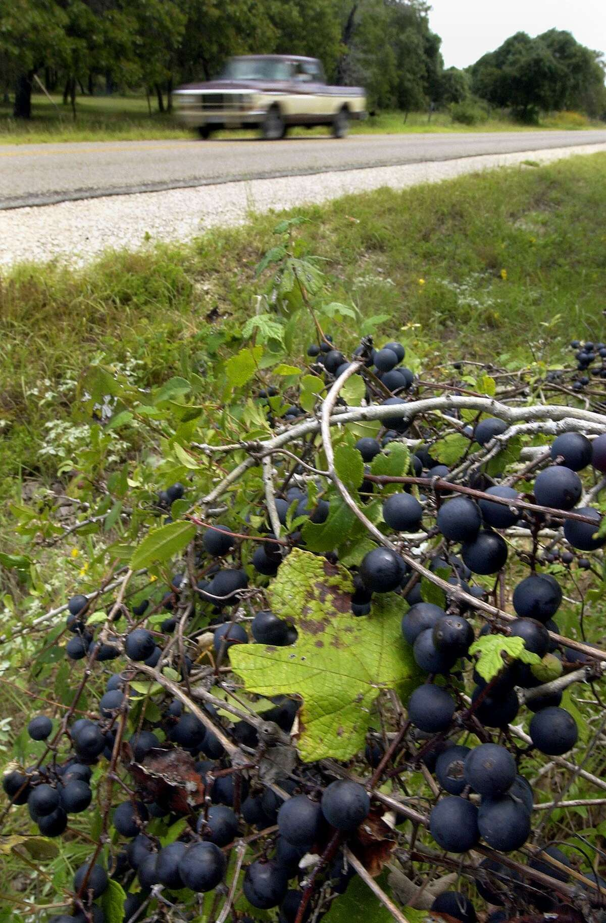Wild mustang grapes grow along a Texas roadside. In Connecticut, the ripening grapes - and their aroma - are a sign of fall approaching.
