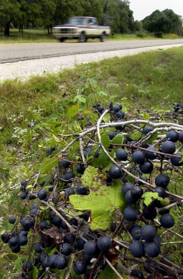Wild mustang grapes grow along a Texas roadside. In Connecticut, the ripening grapes — and their aroma — are a sign of fall approaching. Photo: William Luther / Hearst Media / SAN ANTONIO EXPRESS-NEWS