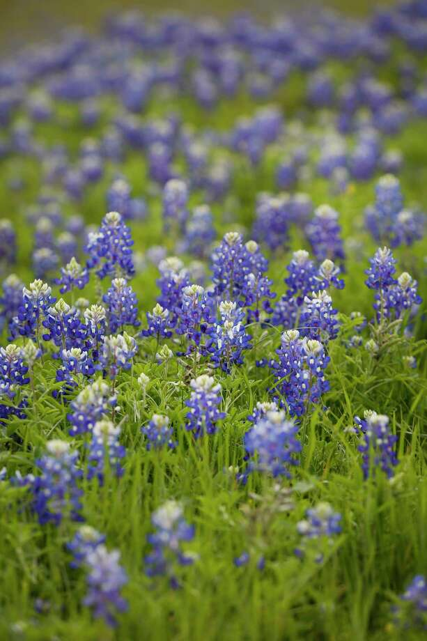 Bluebonnets start to bloom in a field behind Walmart Saturday, March 14, 2020, in Brenham. Photo: Steve Gonzales, Houston Chronicle / Staff Photographer / © 2020 Houston Chronicle
