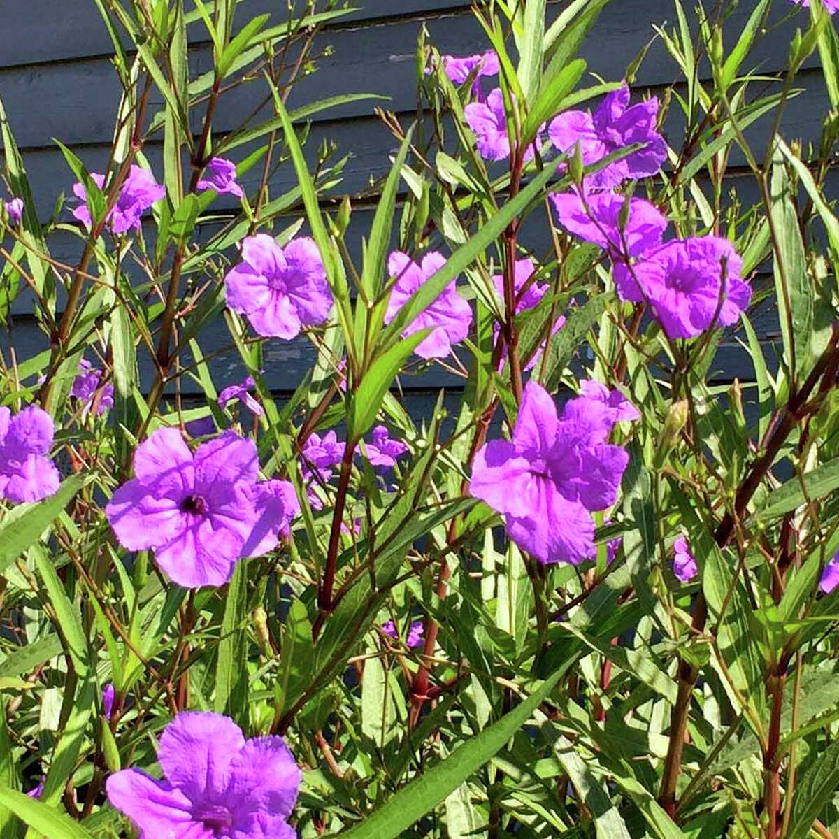 This is Mexican petunia, Ruellia brittoniana. It's invasive nature, but when contained, it's a handsome perennial.