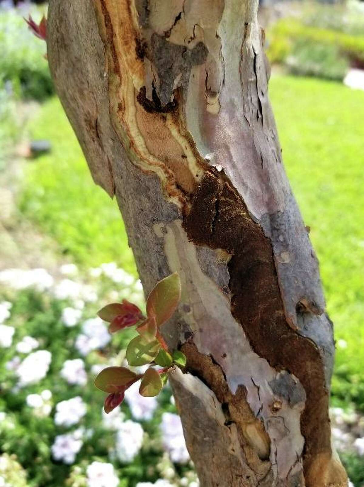 Some type of insect got behind the exfoliating bark on this crape myrtle's trunk and made its way around. It's probably not a serious issue.