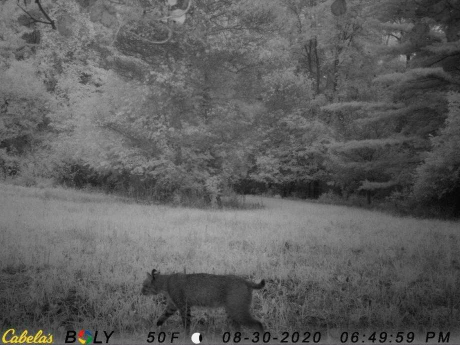 In this screenshot from a motion-activated camera, a bobcat was recently on Chippewa Nature Center's property on Aug. 30. (Photo provided)