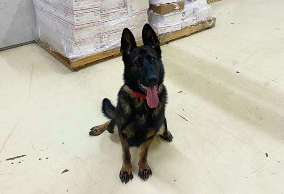 The Midland Police Department announced their newest K-9, LEO, a two-year-old German Shepherd. (Photo provided)