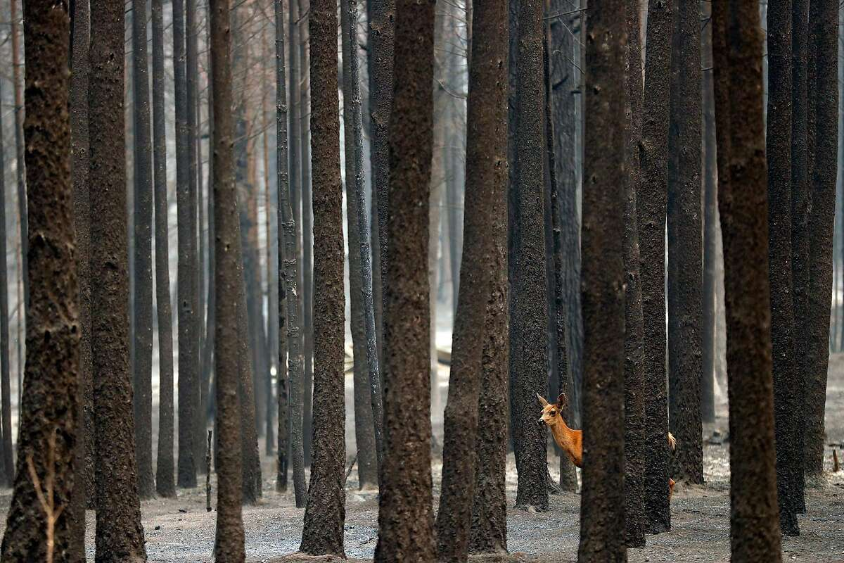 """A deer walks through the charred remains of Camp Okizu during North Complex West Zone Fire in Berry Creek, Calif., on Thursday, September 10, 2020. Camp Okizu helped """"all members of families affected by childhood cancer to heal through peer support, respite, mentoring and recreational programs."""""""