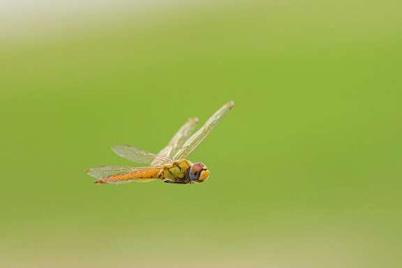 Wandering glider dragonflies have no specific migratory paths but instead glide on the winds to warm climates.