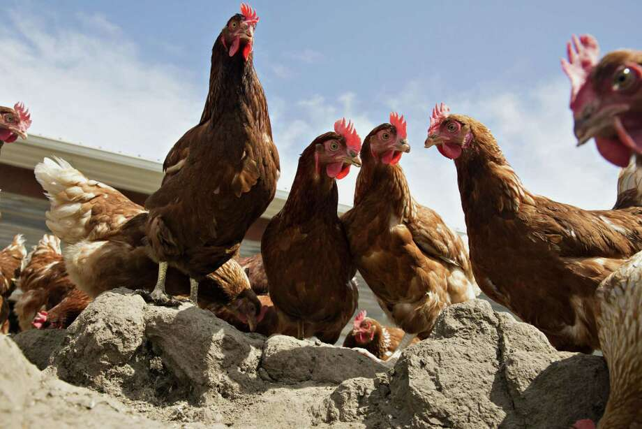 Lohmann Brown chickens stand outside a barn at Meadow Haven Farm in Sheffield, Ill., on Aug. 4, 2015. Photo: Bloomberg Photo By Daniel Acker. / © 2015 Bloomberg Finance LP