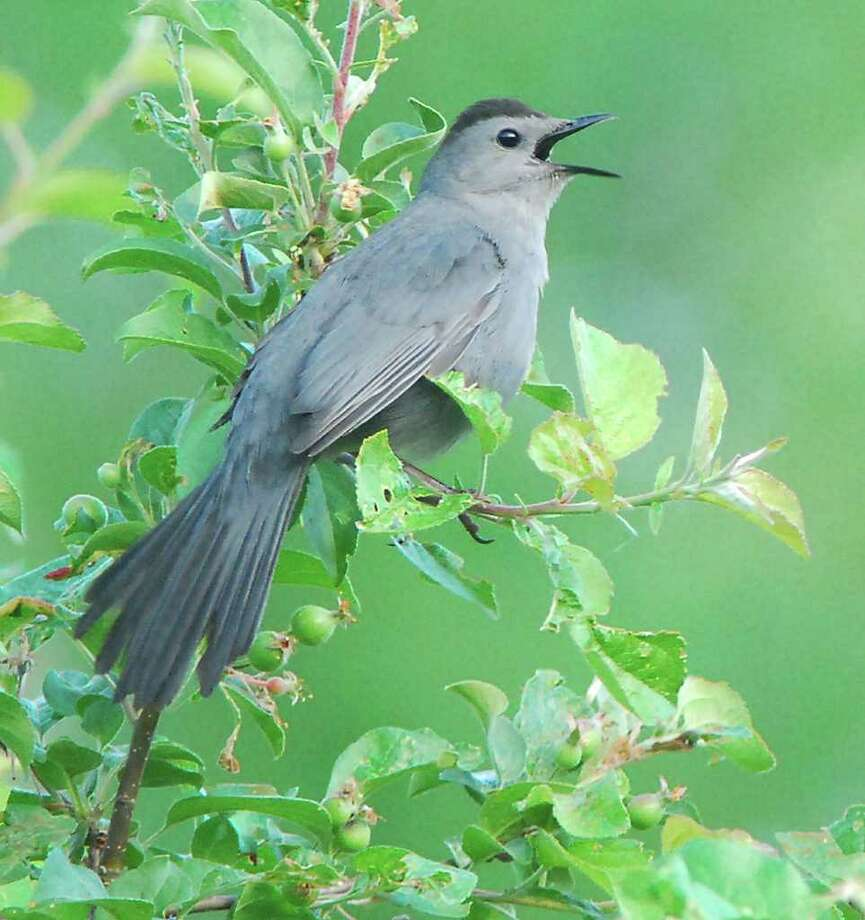 Although usually very shy birds, male catbirds will risk being seen to sing a song for his lady fair. (Bill Danielson)