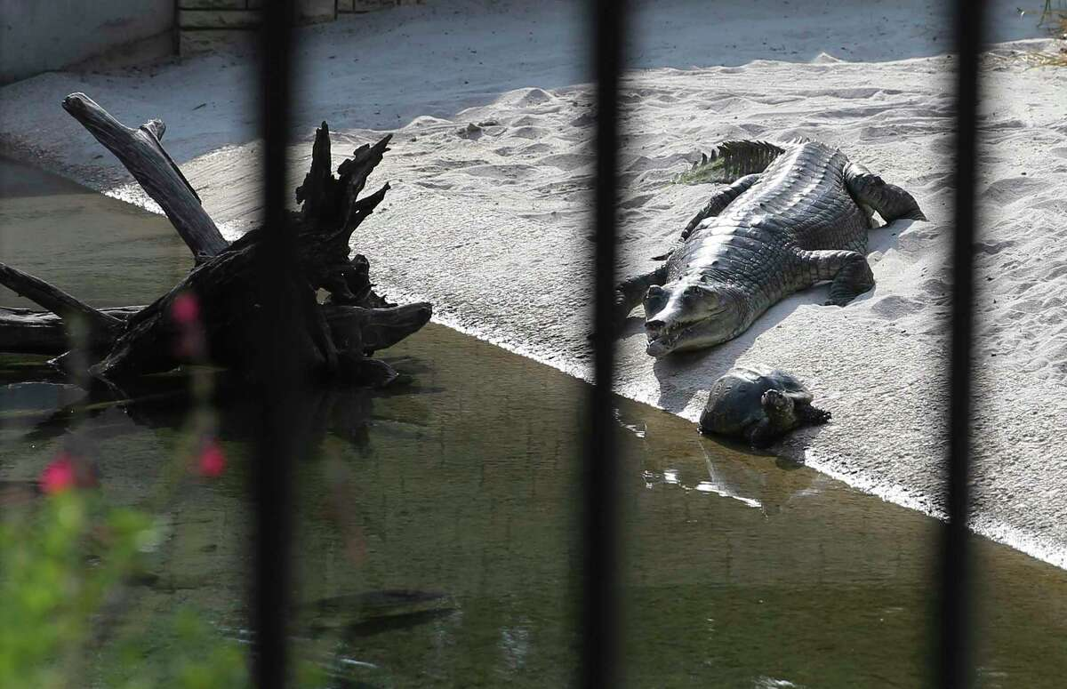 A gavial and turtles are seen on the drive-thru zoo experience. The Drive-Thru Zoo experience has turned out to be so popular that San Antonio zoo officials have decided to allow motorists to continue visiting the zoo in their own automobile permanently. Other zoos in Phoenix and Toronto are copying the experience.