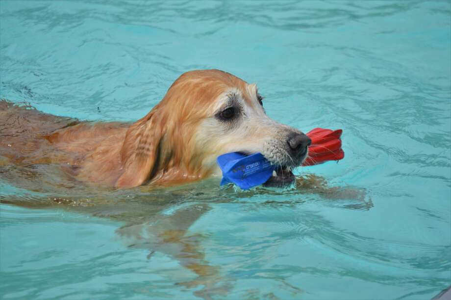 The City of Midland Parks and Recreation hosted its 10th annual Pooches at the Pool event on Saturday, Sept. 12, 2020 at Plymouth Pool. (Ashley Schafer/Ashley.Schafer@hearstnp.com) Photo: Ashley Schafer