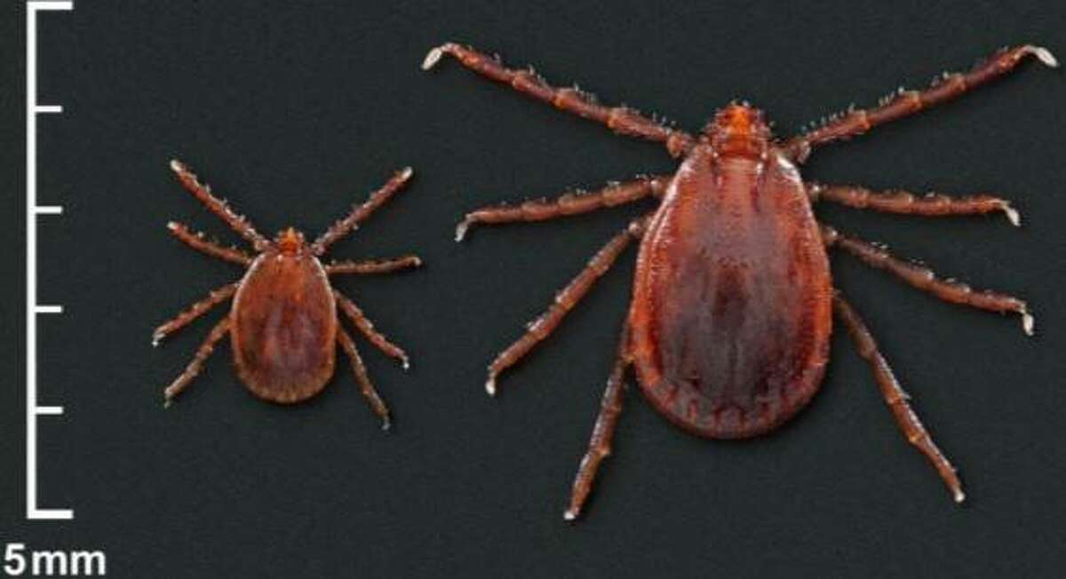 An Asian longhorned tick nymph, left, and adult female.