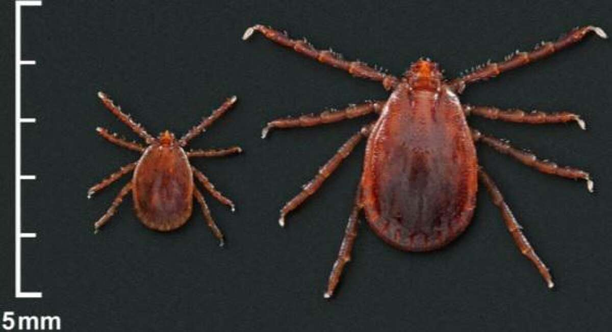An Asian longhaired tick nymph and adult female.