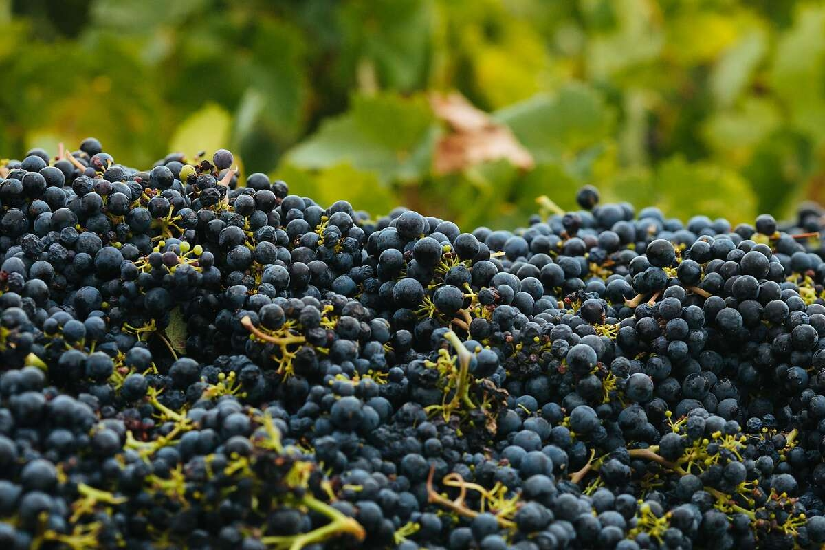 Picked Zinfandel grapes are seen at the Limerick Lane Vineyard in Healdsburg, Calif. Tuesday, August 30, 2017.