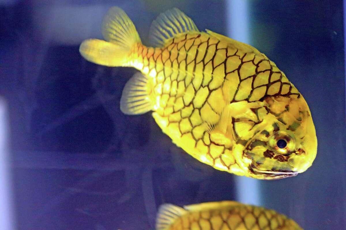 Pinecone fish at Maritime Aquarium at Norwalk.
