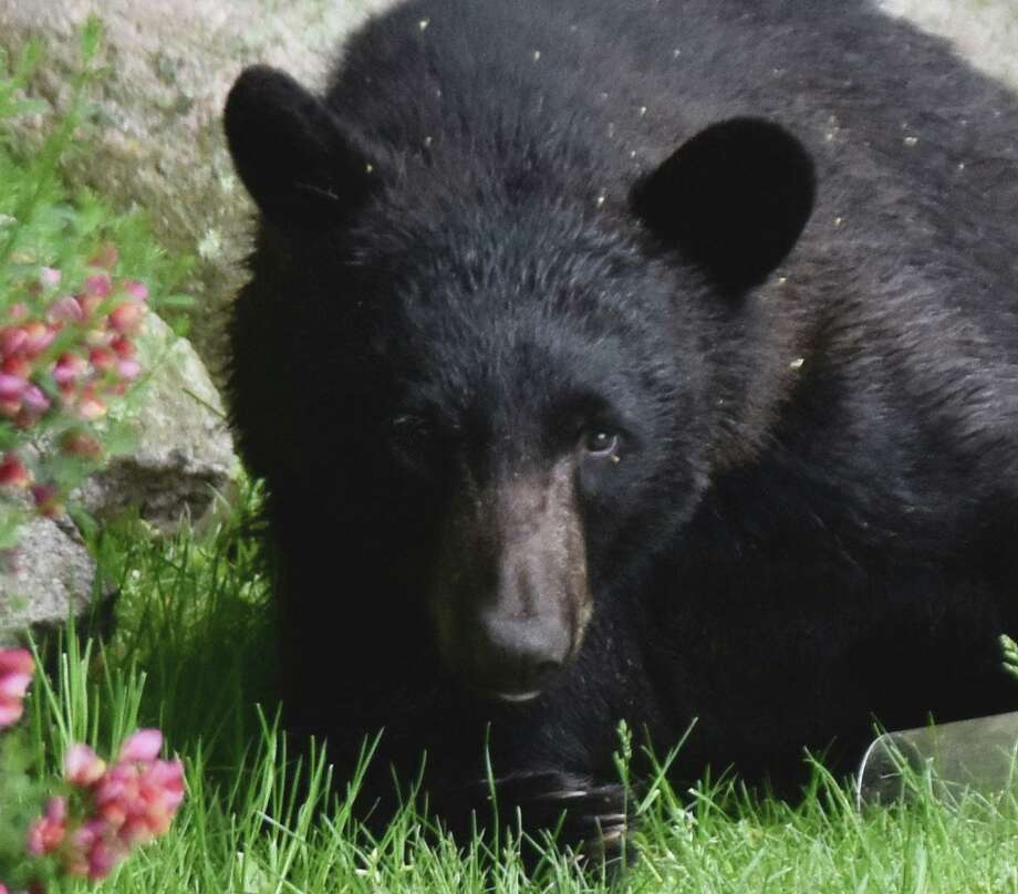 A black bear visits a Wilton, Conn., backyard near Cranbury Park in May 2019.