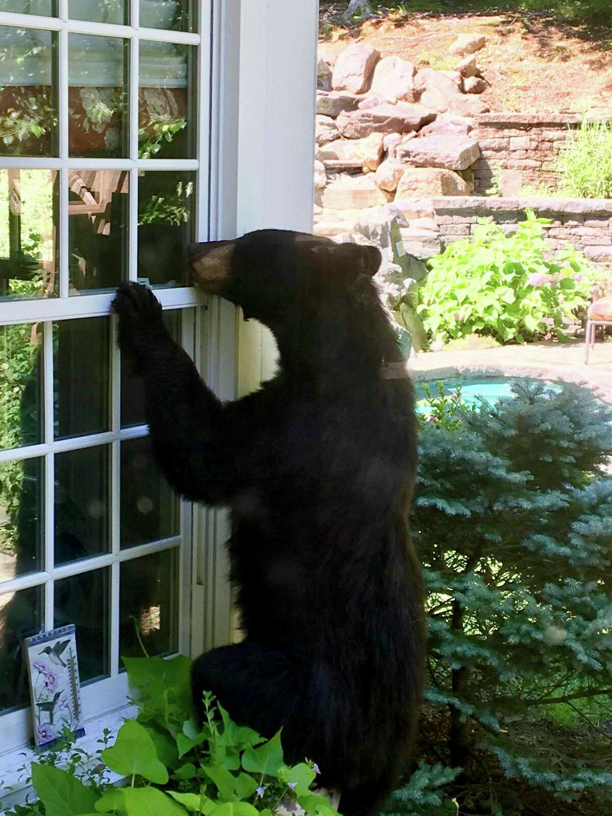 """A black bear explores an Avon, Conn., backyard in this July 28, 2018, file photo. """"Bears that are attracted to homes by easily-accessible foods lose their fear of humans,"""" she said. """"It is important to remember to keep your grill clean and garbage secured and indoors until collection day to avoid giving bears a tempting snack. Bears that are rewarded by easy meals spend more time in neighborhoods and near people, increasing risks to public safety, the likelihood of property damage and the possibility that the bears may be hit and killed by vehicles."""" While there are things that serve as bear attractants, bird feeders and garbage are the most common. Bird feeders should be taken down from April 1 through at least Nov. 30 to ensure they don't attract bears, according to the Wildlife Division. The feeders should also stay down during a mild winter. Even empty bird feeders can draw the attention of a bear. The Wildlife Division recommends residents store garbage bins in in a closed garage or shed. Trash haulers also offer bear resistant bins for trash, making it significantly more difficult for a bear to get access to the garbage inside."""