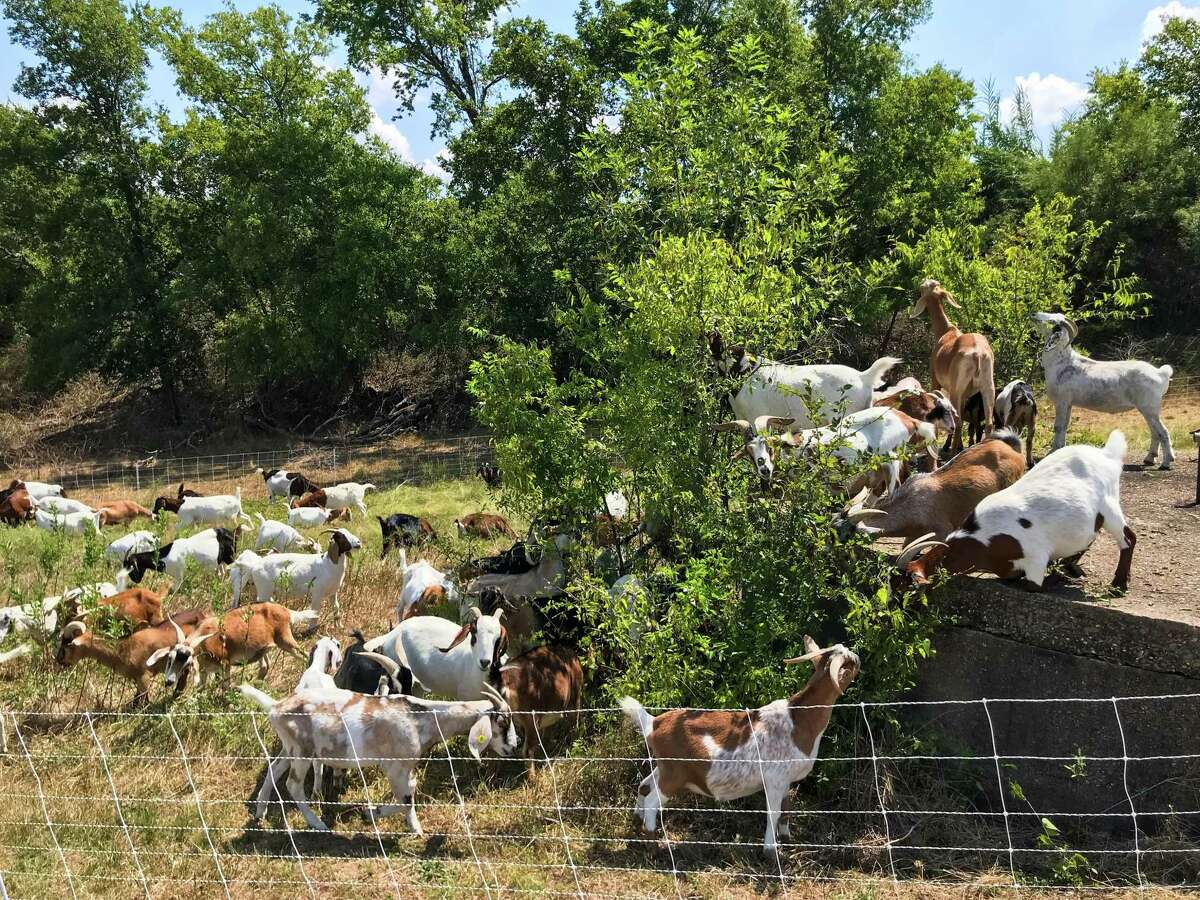 The Houston Arboretum will import more than 120 goats in October for an