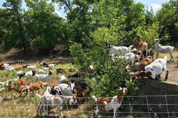 """The Houston Arboretum will import more than 120 goats in October for an """"Eco-friendly"""" alternative to commercial mowers."""