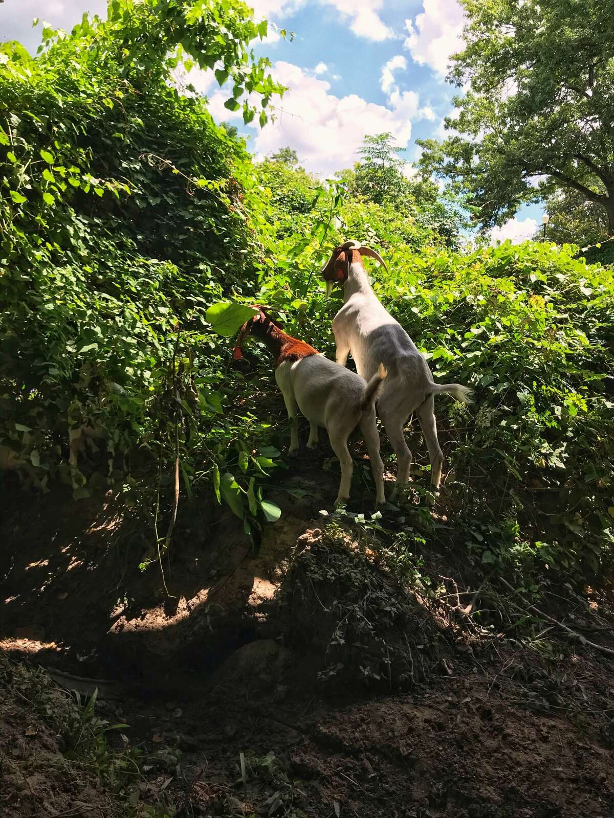 The Houston Arboretum & Nature Center welcomes 120 goats in October to assist with