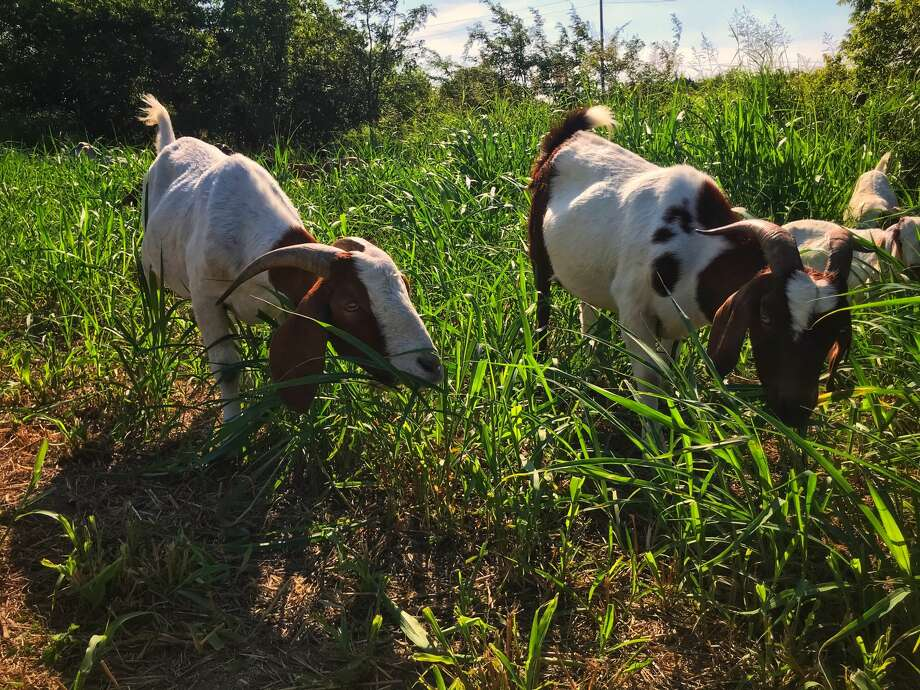 """The Houston Arboretum & Nature Center welcomes 120 goats in October to assist with """"mowing"""" slopes with overgrown vegetation around the two Woodway ponds. The public is welcome to view the goats at work any day from Oct. 4 – 10. Photo: Rent-A-Ruminant Texas"""