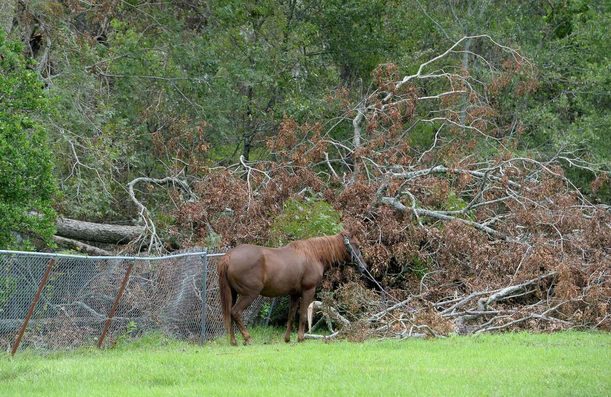 A horse is tethered near a large downed tree in Orange a week after the area was hit with some of the most severe damage in Southeast Texas by Hurricane Laura. Photo taken Thursday, September 3, 2020 Kim Brent/The Enterprise