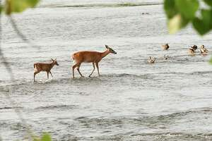 A doe and her fawn seem to walk on water as they make their way across part of the Mohawk River on Wednesday, Sept. 16, 2020 in Cohoes, N.Y. . (Lori Van Buren/Times Union)