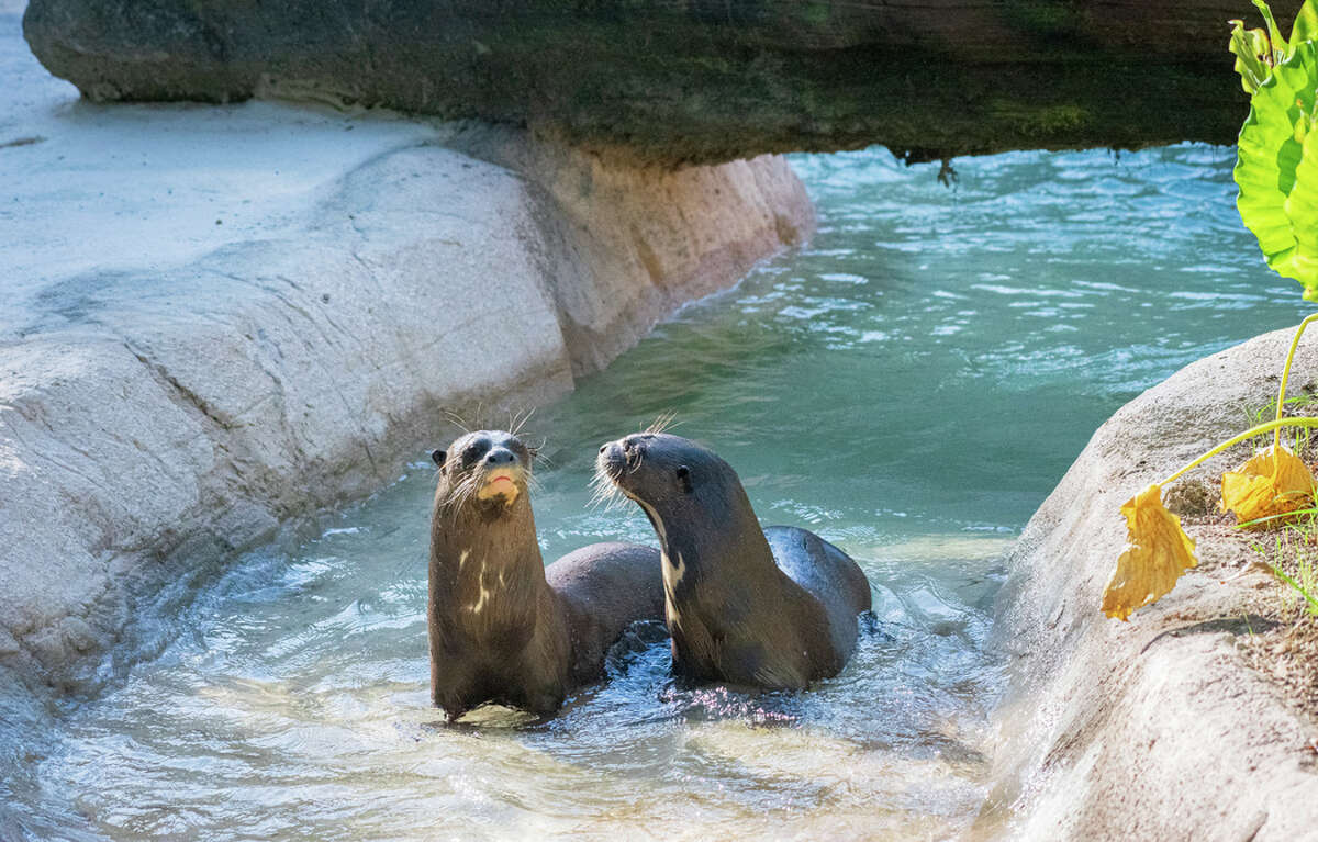 Giant otters at Houston Zoo.
