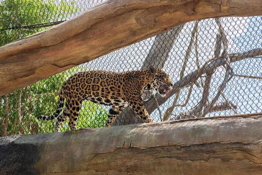 Jaguarat Houston Zoo. Photo: Kevin Kendrick/Houston Zoo