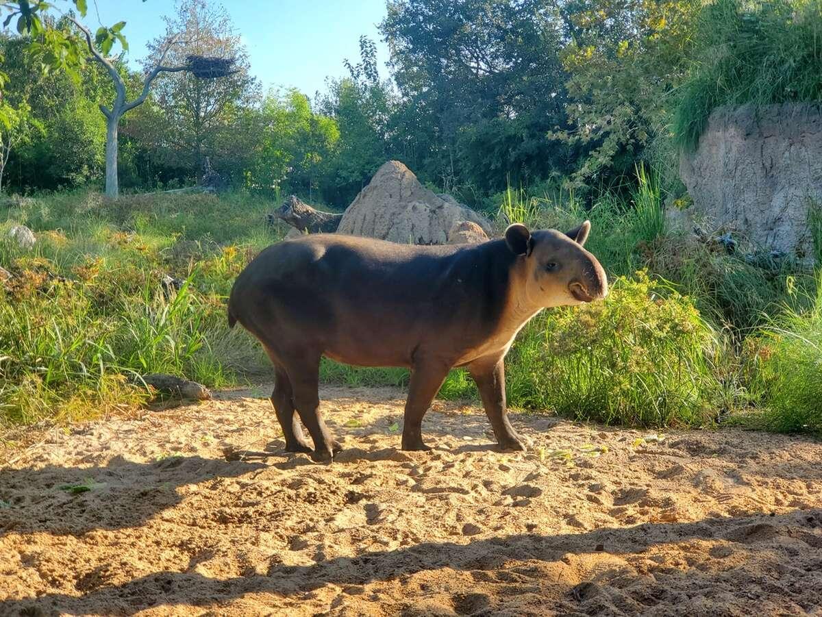 Baird's tapir at Houston Zoo.