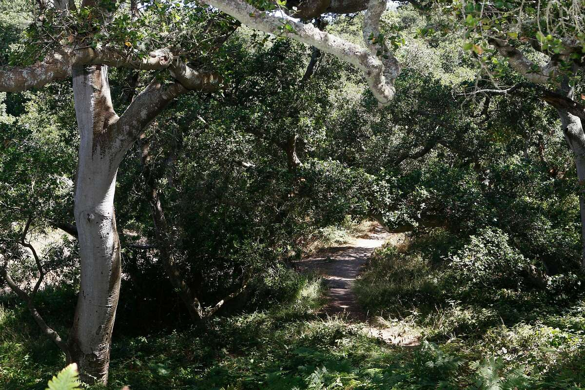 An old oak tree (left) at the Fuchsia Heights section of the Oak Woodlands trail in Golden Gate park in San Francisco , Calif., on Friday, August 10, 2012. Last weekend more than 200 volunteers built a new trail and cleaned up the northeastern end of Golden Gate Park.