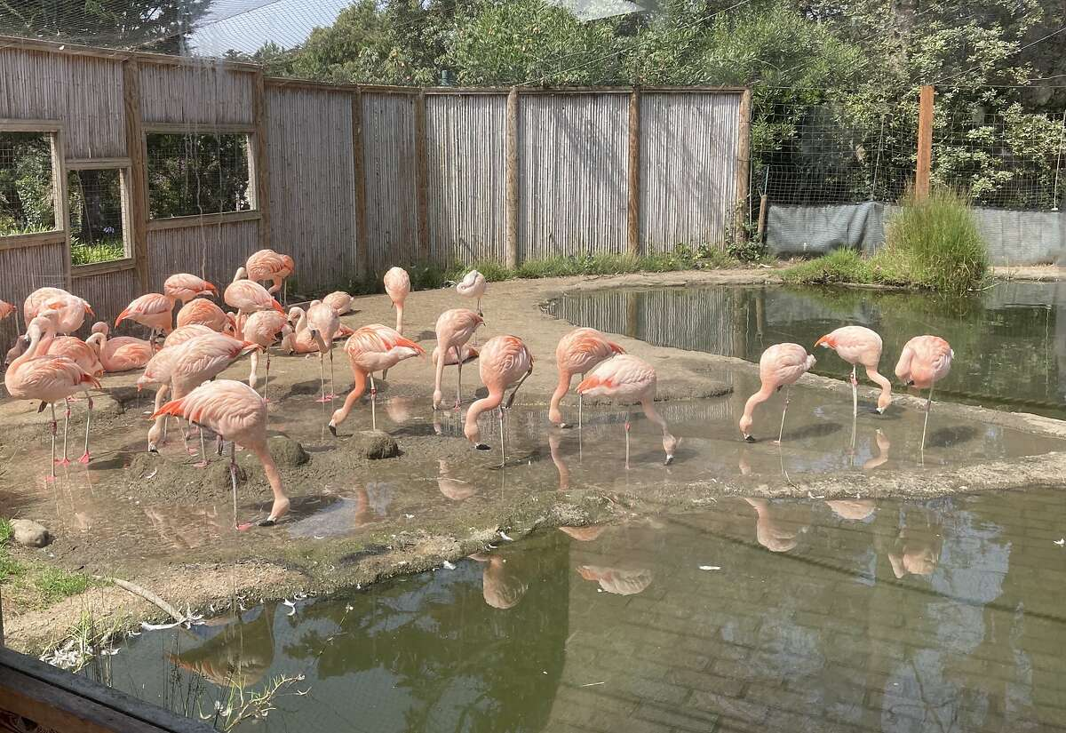 Why do flamingos at the San Francisco Zoo stand on one leg? Because if they picked it up, they'd fall over.