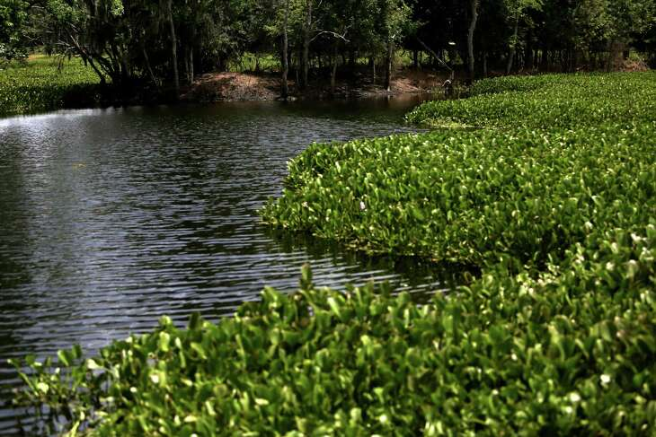 Water hyacinth is one of the invasive plants that landowners can possess if they are disposing of it properly, according to a new proposal.