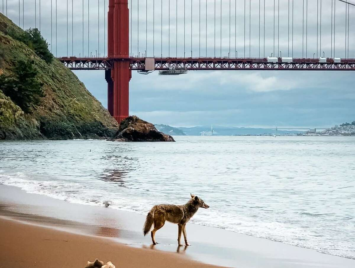 A coyote looks over the water during a visit to a mostly deserted Kirby Cove on the Marin County side of the Golden Gate Bridge. Photographer Scott Oller captured the moment on April 9, 2020.