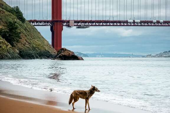 A coyote looks over the water during a visit to a mostly deserted Kirby Cove on the Marin County side of the Golden Gate Bridge. Photographer Scott Oller captured the moment on April 9, 2020. (Photo courtesy of Scott Oller.)