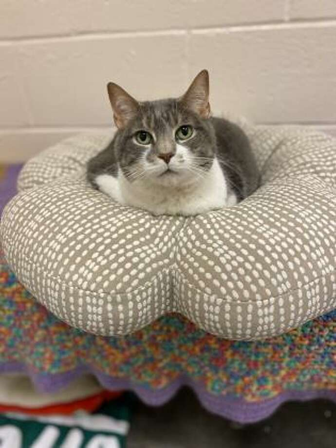 Finn is a sweet kitty who is patiently waiting to find her new home. Finn is 9 and she has not had much experience with children but she is willing to consider sharing her home with kids over 10 who can be gentle and respectful of pets. Finn may also be willing to share her home with a cat or dog that would be respectful of cats. This girl is a quiet and reserved kitty who would prefer a peaceful home. Apply to adopt Finn from our Westport location. Remember, the Connecticut Humane Society has no time limits for adoption. Applications for adoption can be obtained at https://cthumane.org/adopt/all-adoptable-pets/. To learn more about operations during COVID-19, go to https://cthumane.org/adopt/adoption-process/. Photo: Contributed Photo