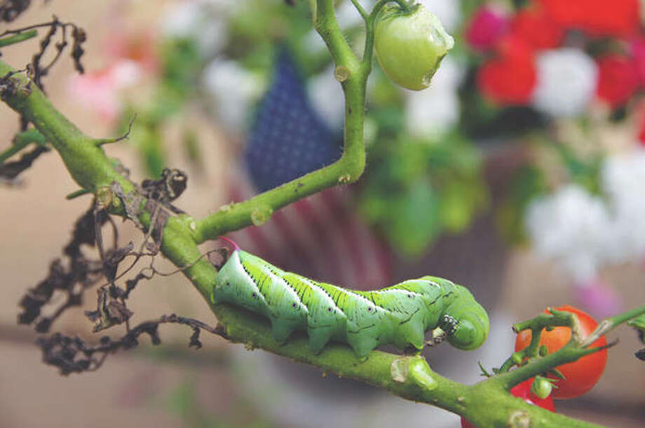Hornworms are particularly fond of garden tomato plants. Photo: Getty Images