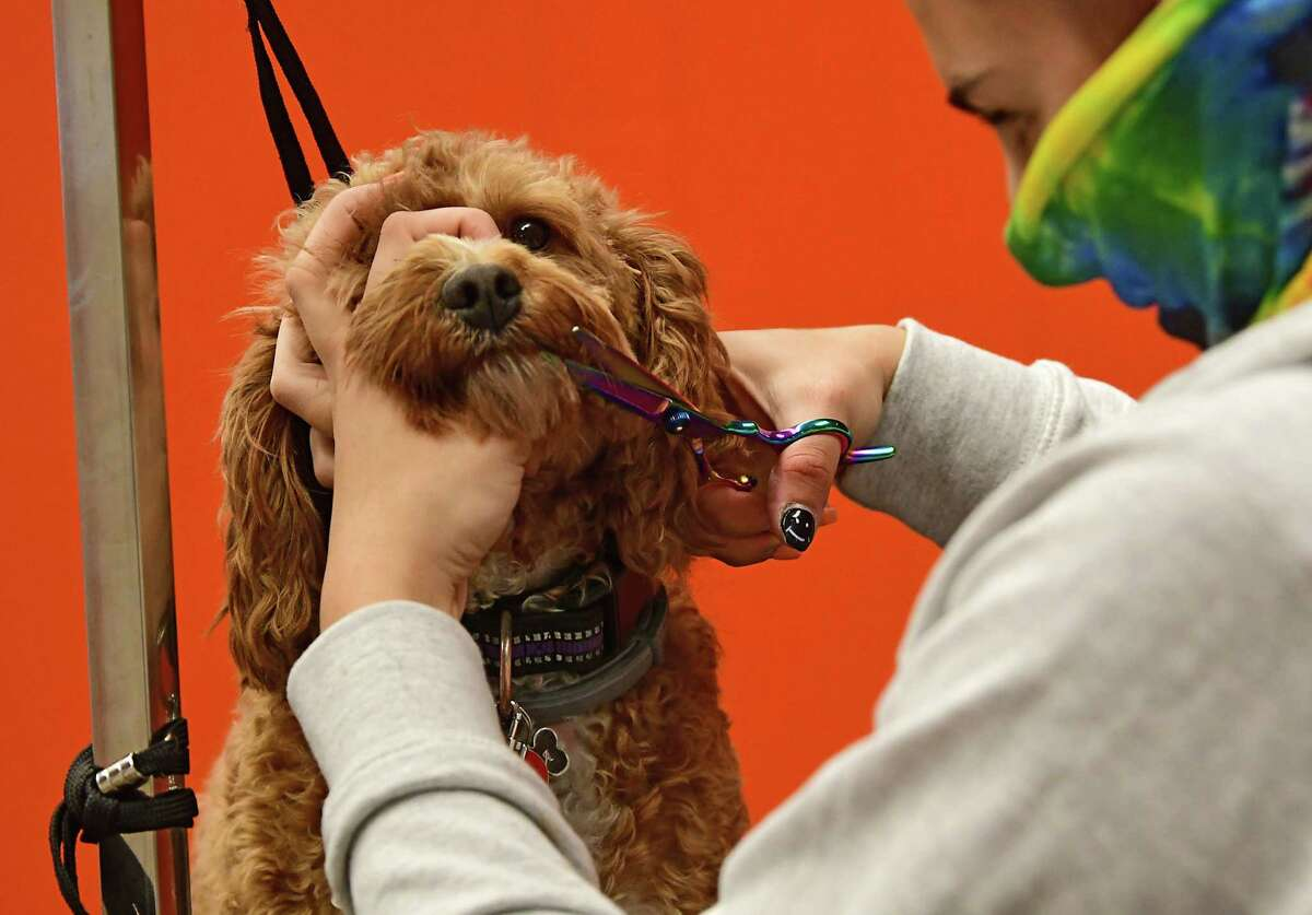 Groomer Lynne Godfrey gives Rita, a Cavapoo from Saratoga, a trim in the grooming space at Chow Bella, an indoor, climate controlled canine social club, which recently opened their doors for business Tuesday, Sept. 15, 2020 in Saratoga Springs, N.Y. (Lori Van Buren/Times Union)