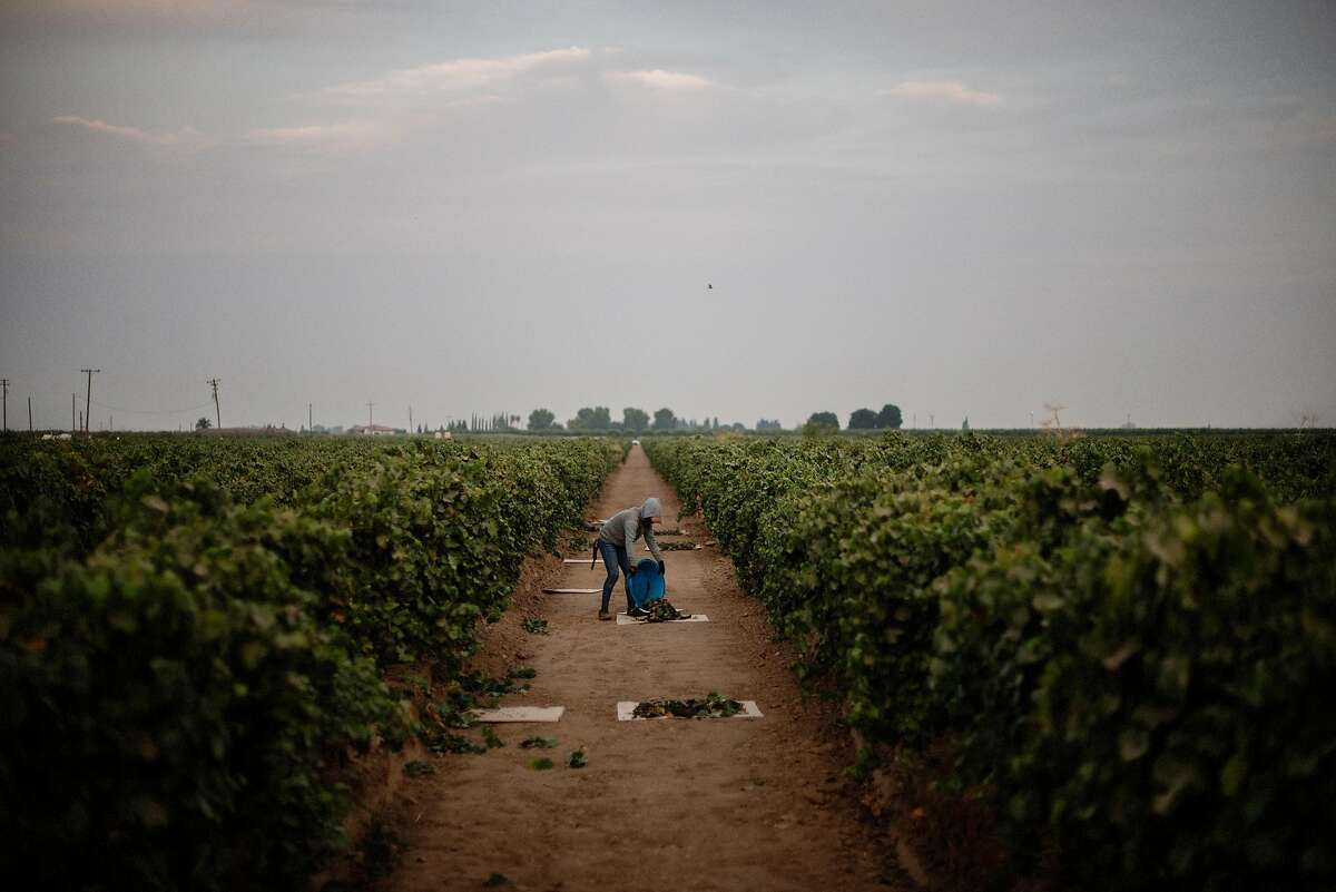 **EDS.: RETRANSMISSION OF XNYT4 SENT APRIL 22, 2020, TO CORRECT TO GRAPES**FILE - A harvester gathers grapes in California�s Central Valley, Aug. 18, 2020. The same manufactured landscapes that have enabled California�s tremendous growth, building the state into a $3 trillion economy that is home to one in 10 Americans, have also left it more exposed to climate shocks, experts say. (Brian L. Frank/The New York Times)