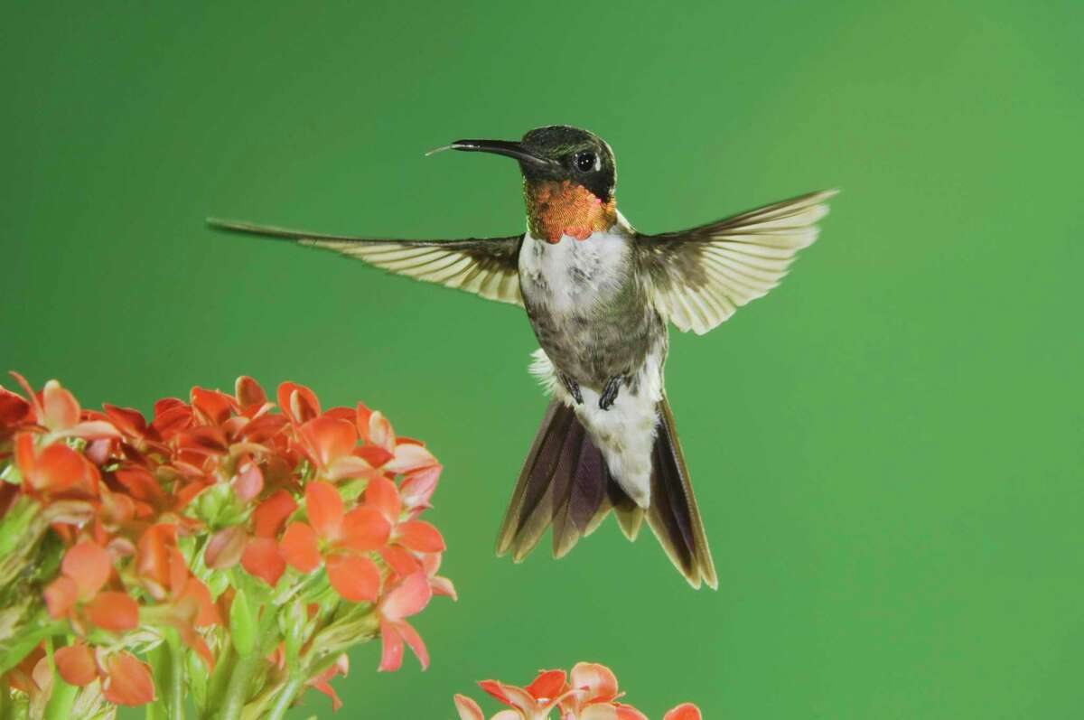 Ruby-throated hummingbirds will be visiting us this fall.