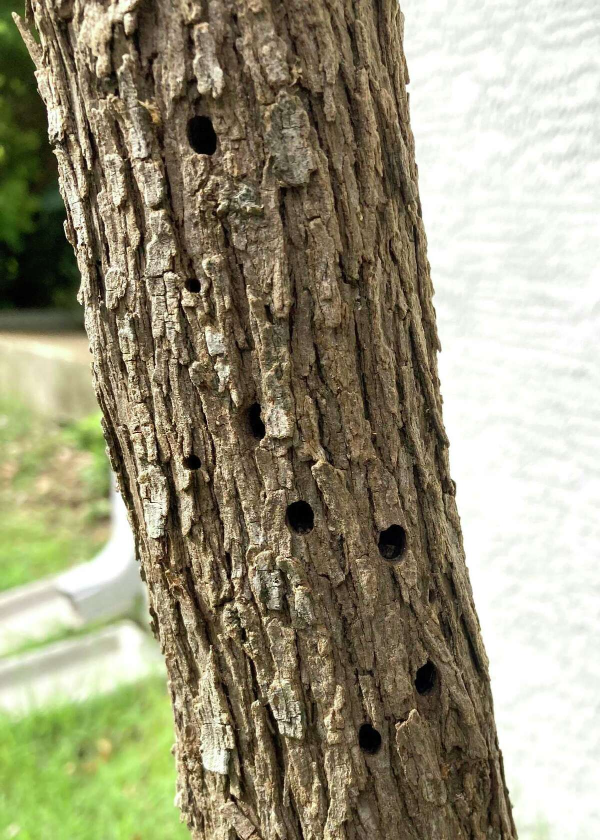 The type of borer causing the damage to this Texas mountain laurel is a mystery.