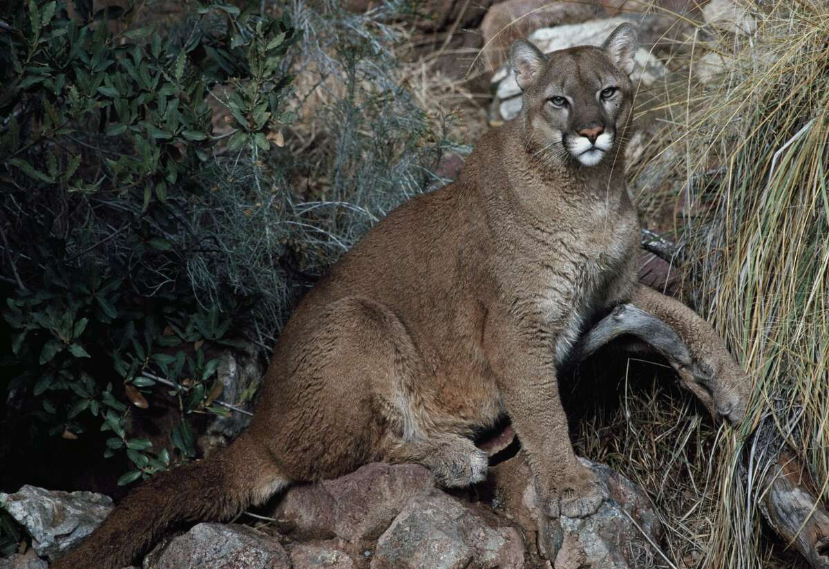 FILE -- Cougar, Puma or Mountain Lion (Puma concolor), Felidae. (Photo by DeAgostini/Getty Images)