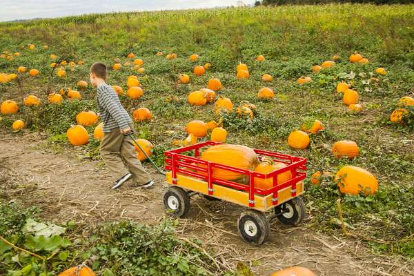 A pumpkin is a cultivar of a squash plant, most commonly of Cucurbita pepo, that is round, with smooth, slightly ribbed skin, and deep yellow to orange coloration.