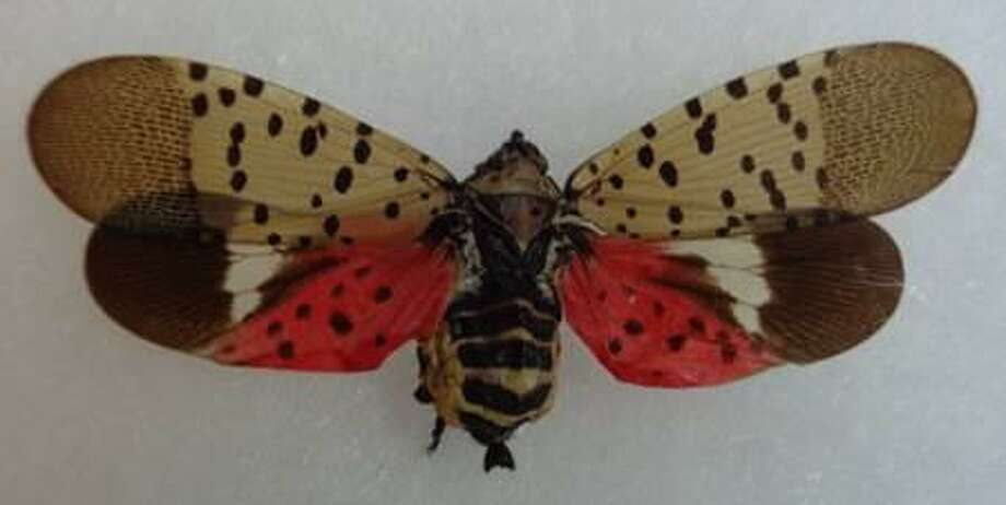 The spotted lanternfly, whcih can destroy crops and trees has been spotted in West Haven and Greenwich. Photo: Connecticut Agricultural Experiment Station / Contributed
