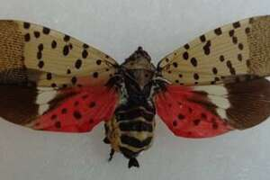 The spotted lanternfly, whcih can destroy crops and trees has been spotted in West Haven and Greenwich.